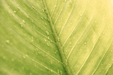 Green leaf with drops of water - Abstract green striped nature background, Natural photography (Vintage tone)