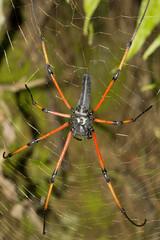 Signature spider, Argiope sp, Araneidae, Tripura