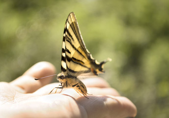 Butterfly Eastern Tiger Swallowtail on a hand