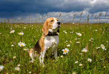 Beagle dog in a meadow with daisies