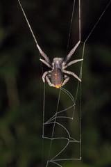 Spider, Stegodyphus mirandus, Eresidae, Aarey milk colony Mumbai