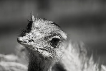 Poster - Black and white, art animal ostrich