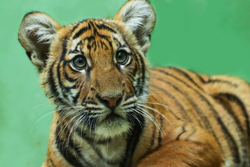 Wall Mural - Baby tiger with green background