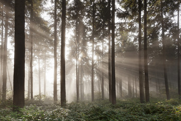 Sunbeams in a forest, Moselle Valley, Rhineland-Palatinate, Germany, Europe