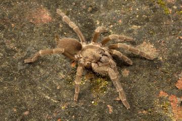 Spider, Theraphosidae, Gumti, Tripura , India