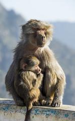 Mother with baby baboon on Mount Souda, highest mountain in Saudi Arabia, Abha, Saudi Arabia, Middle East