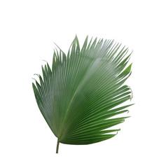 green palm leaf on white background