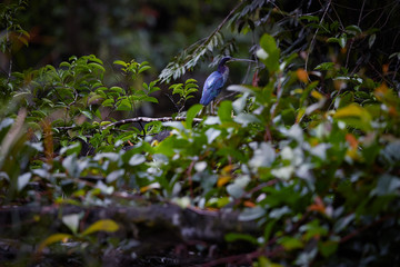 Agami heron, Agamia agami, rare to see, vulnerable bird among tropical vegetation in its dark, wet natural environment of costa rican rainforest. Colorful heron. Boca Tapada. Costarica.