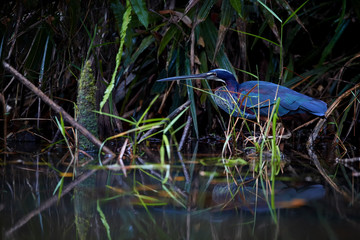Agami heron, Agamia agami, very shy, vulnerable american heron, wading in shallow lagoon against dark undergrowth of costa rican rainforest. Colorful heron mirroring in  water. Boca Tapada. Costarica.