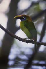 Vertical photo of Emerald toucanet, Aulacorhynchus prasinus, green bird with enormous beak, sitting on branch in its natural environment of costa rican rainforest. Costa Rica wildlife