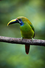 Vertical photo of Emerald toucanet, Aulacorhynchus prasinus, green bird with enormous beak, sitting on branch in its natural environment of costa rican rainforest. Costa Rica wildlife photography.