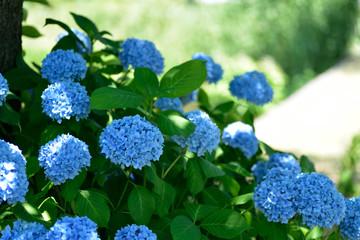 Photo sur Plexiglas Hortensia 紫陽花