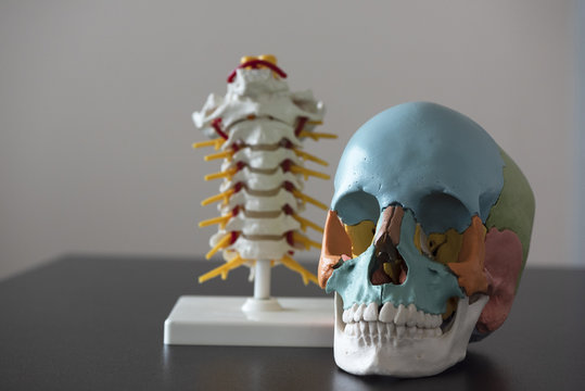Skull and spine model on the table