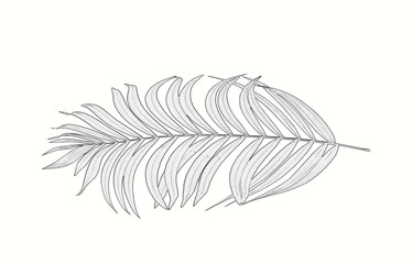 leaves of palm tree on white background