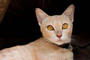 Thai cat face
