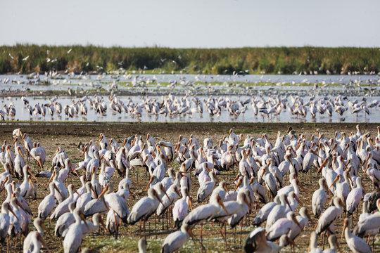 Yellow billed stork (Mycteria ibis), Lake Manyara National Park, Tanzania