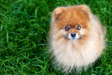 Pomeranian on the grass