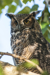 American Great Horned owl (Bubo virginianus), Alaska, United States of America, North America