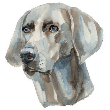 The Weimaraner dog - hand painted, isolated on white background watercolor