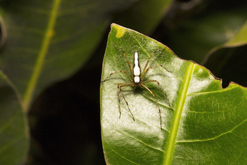 White lynx spider, Oxyopes shweta, Oxyopidae, Aarey milk colony Mumbai