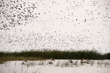 Dendrocygne veuf,.Dendrocygna viduata, White faced Whistling Duck, Pélican blanc, Sénégal