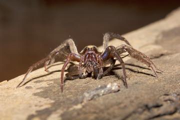 Wolf spider, Lycosidae, Madhya Pradesh