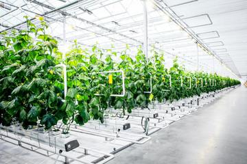 Green crop in modern greenhouse