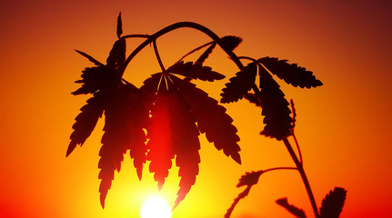 Silhouette cannabis, marijuana in sunlight on beautiful background in warm shades of setting sun
