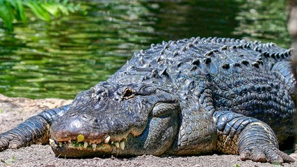 Closeup of an Alligator Facing You While Sunbathing on the Sandy Lake Shore