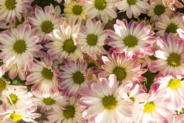 Сhrysanthemum flowers macro image, floral vintage background