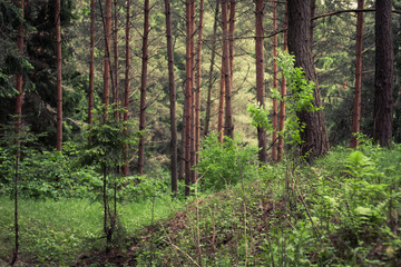 thick dense hilly pine forest