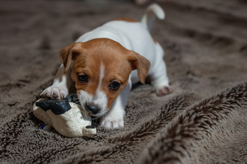 Jack Russell puppy plays with her toys.