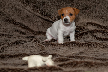 Jack Russell puppy sitting on a brown blanket.
