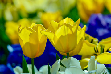Closeup of Yellow Tulips with blue, green and yellow blurred background abstract