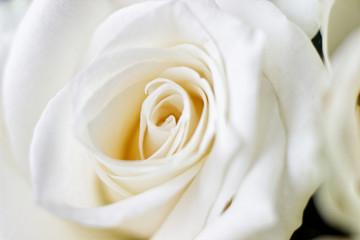 Macro White Rose 2