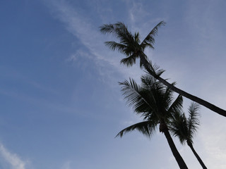 Silhouette picture of the coconut tree