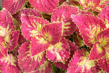 Aluminium Prints Crimson pink leave close up