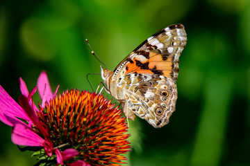 Painted Lady Butterfly sitting on a Coneflower