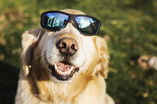 Golden Retriever smiling in sunglasses
