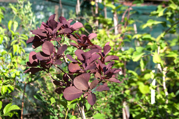 Dark purple plant branch among greenhouse garden trees and shrubs