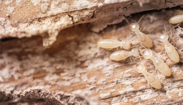 Close up shot, macro white ants or termites on decomposing wood. As an enemy of wooden houses as well.