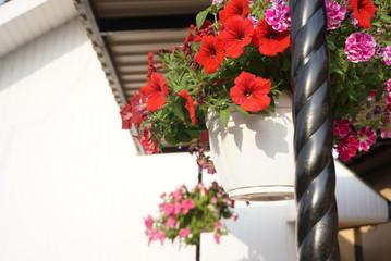 petunia flowers red