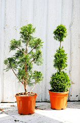 Two potted miniature trees cut to form