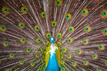 Close shot of a colorful wild peacock with his tail wide open, Koh Samui, Thailand