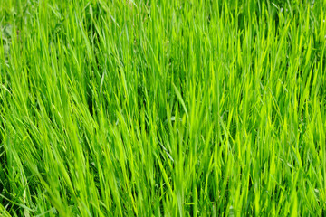 Green bright juicy grass background