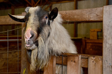 hairy goat with tongue sticking out in rustic wood barn pen