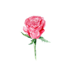 Botanical watercolor illustration sketch of red rose on white background. Could be used as decoration for web design, cosmetics design, package, textile