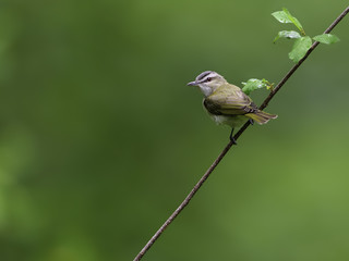 Red-Eyed Vireo in Spring