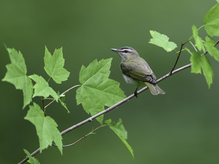 Red-Eyed Vireo in Spring on Green Background