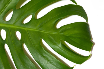 Monstera leaf on white background